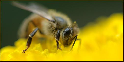 cygnus921-Honeybee-137